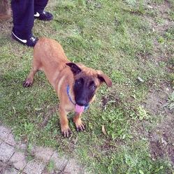 Jack, chien Berger belge