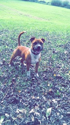 Jack, chien Staffordshire Bull Terrier