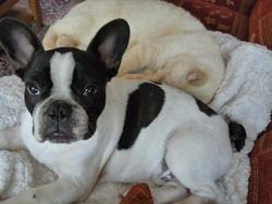 Jack, chien Bouledogue français
