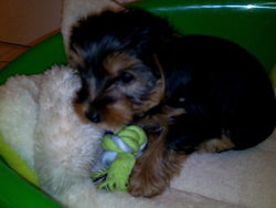 Jack , chien Yorkshire Terrier