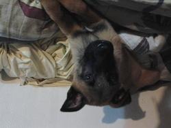 Jack, chien Berger allemand