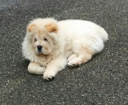 Jack, chien Chow-Chow