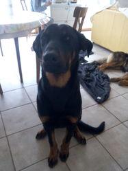 Jack, chien Beauceron