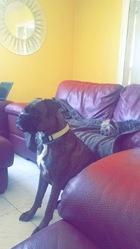 Jack, chien Boxer