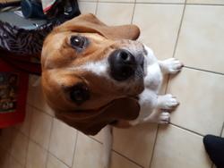 Jack, chien Beagle