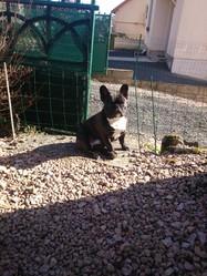 Jack , chien Bouledogue français