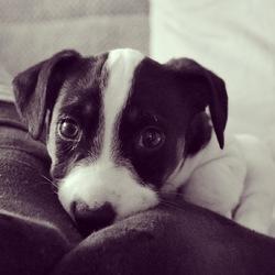 Jack, chien Jack Russell Terrier