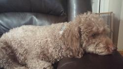 Jack, chien Caniche