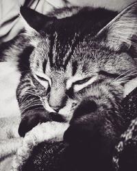 Jack, chat Européen