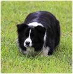 Jack, chien Border Collie