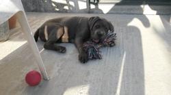 Jack, chien Cane Corso
