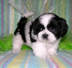 Jack, chien Lhassa Apso