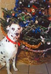 Jack, chien Dalmatien