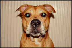 Jack, chien American Staffordshire Terrier