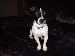 Jack, chien Jack Russell Terrier