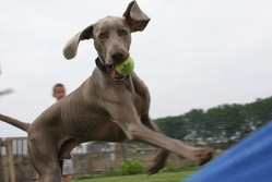 Jack, chien Braque de Weimar