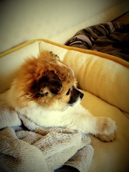 Jack, chien Chihuahua