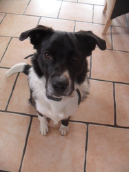 Jack, chien Border Collie