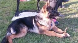 Jack De La Huche Normande, chien Berger allemand