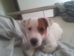 Jack De La Pinkinerie, chien Jack Russell Terrier