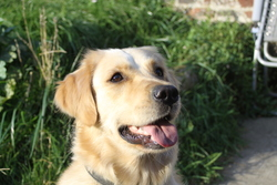 Jack - Doudou, chien Golden Retriever
