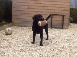Jackar, chien Labrador Retriever