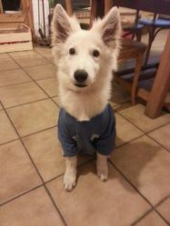 Jackasse, chien Berger blanc suisse
