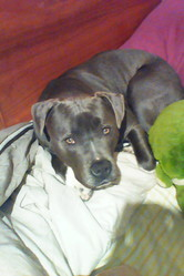 Jackblue, chien American Staffordshire Terrier