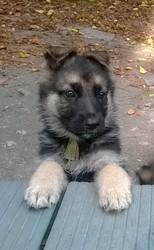 Jacke, chien Berger allemand