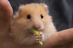Jackie, rongeur Hamster
