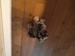 Jackie, chien Shih Tzu