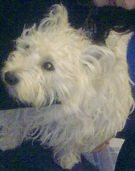 Jackob, chien West Highland White Terrier