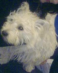 Jackob, chien West Highland White Terrier