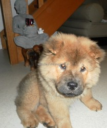 Jackpot, chien Chow-Chow