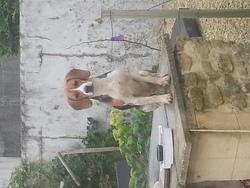 Jackpot, chien Beagle