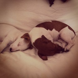 Jackpot, chien Jack Russell Terrier