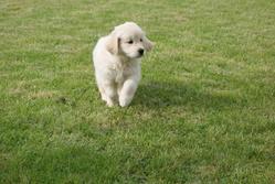 Jackpot, chien Golden Retriever