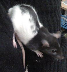 Jacks, rongeur Rat