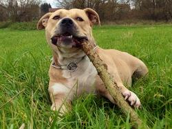 Jackson, chien American Staffordshire Terrier