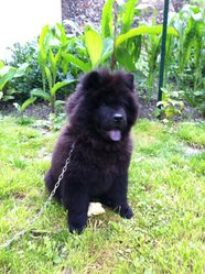 Jackson, chien Chow-Chow