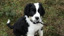 Jackson, chien Border Collie