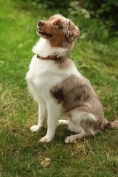 Jackson, chien Berger australien