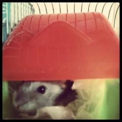 Jackson, rongeur Hamster