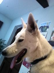 Jackson, chien Berger blanc suisse