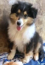 Jackson, chien Colley à poil long