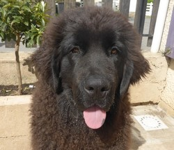 Jackson, chien Terre-Neuve