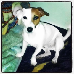 Jackson, chien Jack Russell Terrier