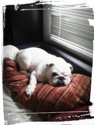 Jackson, chien Bulldog