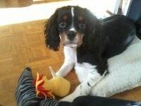 Jackson, chien Cavalier King Charles Spaniel
