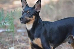 Jackson, chien Pinscher